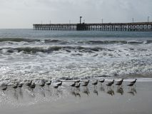Pájaros de Willet y embarcadero al norte de Santa Barbara, California Fotos de archivo
