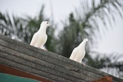 Pájaros del amor y un árbol Imagen de archivo