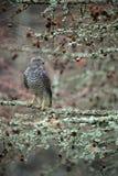 Pájaros del azor de la presa que se sientan en la rama en el bosque caido del alerce durante otoño Imagen de archivo libre de regalías