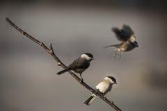 Pájaros del Chickadee Imagen de archivo libre de regalías