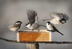 Pájaros del Chickadee Fotografía de archivo