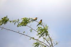 Pájaros del comedor de abeja en diversas posturas Fotografía de archivo