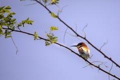 Pájaros del comedor de abeja en diversas posturas Fotografía de archivo libre de regalías