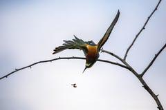 Pájaros del comedor de abeja en diversas posturas Imagenes de archivo