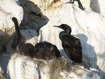Pájaros del cormorán en jerarquía Fotos de archivo libres de regalías
