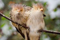 Pájaros del cuco de Guira Imágenes de archivo libres de regalías