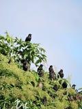Pájaros del estornino Fotografía de archivo