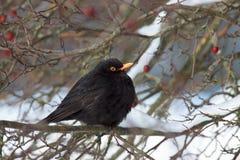 Pájaros del europeo del invierno Mirlo que se sienta en una rama Imágenes de archivo libres de regalías
