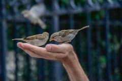 Pájaros del gorrión que escogen granos a disposición de un hombre foto de archivo libre de regalías