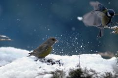Pájaros del invierno fotos de archivo libres de regalías