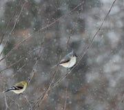 Pájaros del invierno con nieve Foto de archivo libre de regalías