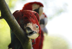 Pájaros del Macaw Foto de archivo