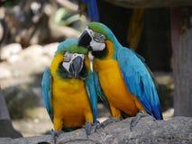 Pájaros del Macaw Imagen de archivo