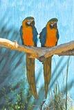 Pájaros del Macaw Imagen de archivo libre de regalías