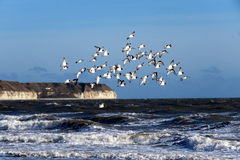 Pájaros del ostrero por el mar Fotografía de archivo libre de regalías