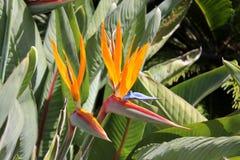 Pájaros del paraíso Imagenes de archivo