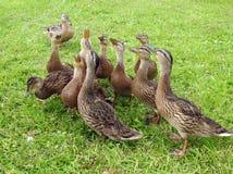 Pájaros del pato de Yang en la hierba verde, Lituania imagenes de archivo