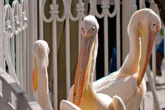 Pájaros del pelícano blanco en un parque zoológico Fotos de archivo