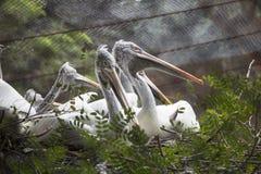 Pájaros del pelícano que se sientan en rama de árbol Fotos de archivo