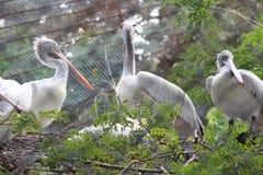 Pájaros del pelícano que se sientan en rama de árbol Imagenes de archivo