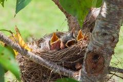 Pájaros del petirrojo del bebé Imágenes de archivo libres de regalías