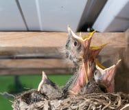 Pájaros del petirrojo del bebé en una jerarquía Imagenes de archivo