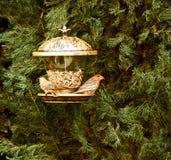 Pájaros del pinzón de Cassin Imagen de archivo libre de regalías