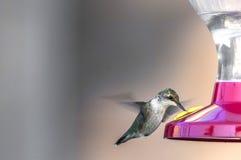 Pájaros del tarareo (colubris del Archilochus) Imagen de archivo libre de regalías