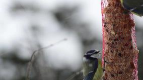 Pájaros del tit azul en su lugar de la alimentación de invierno almacen de metraje de vídeo