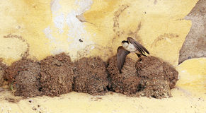 Pájaros del trago Fotografía de archivo