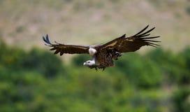 Pájaros depredadores en vuelo kenia tanzania imágenes de archivo libres de regalías