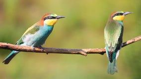 Pájaros divertidos coloreados hermosos jovenes que se sientan en una rama almacen de metraje de vídeo
