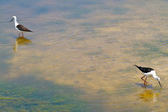 Pájaros en agua Fotografía de archivo libre de regalías