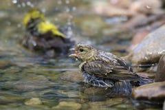 Pájaros en agua Foto de archivo