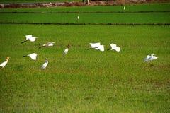 Pájaros en el campo de arroz Foto de archivo libre de regalías