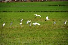 Pájaros en el campo de arroz Imagen de archivo libre de regalías