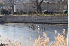 Pájaros en el hielo del río Fotografía de archivo