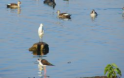 Pájaros en el lago Randarda, Rajkot, Gujarat Fotos de archivo
