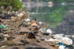 Pájaros en el río entre la basura imagen de archivo
