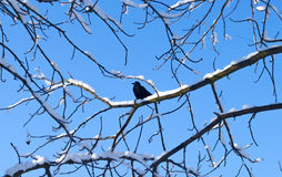 Pájaros en invierno El pájaro se encaramó en una rama de árbol con un fondo del cielo azul Fondo del invierno Foto de archivo