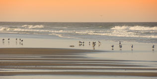 Pájaros en la playa Outerbanks Carolina del Norte Imagen de archivo libre de regalías