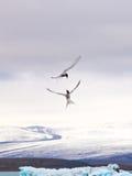 Pájaros en laguna del ³ n del rlà del ¡de Jökulsà Fotos de archivo