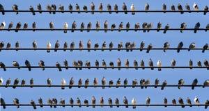 Pájaros en los alambres Fotografía de archivo libre de regalías
