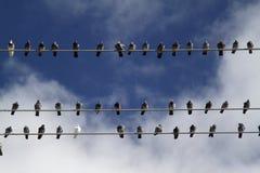 Pájaros en los alambres eléctricos Imagen de archivo