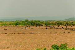 Pájaros en Pantanal Imagen de archivo libre de regalías