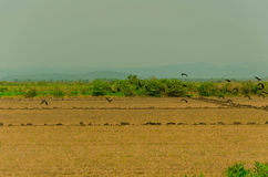Pájaros en Pantanal Fotografía de archivo libre de regalías