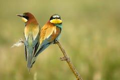 Pájaros en un árbol de la ramita Imagen de archivo libre de regalías