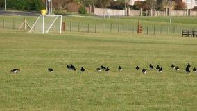 Pájaros en un campo de fútbol Fotos de archivo