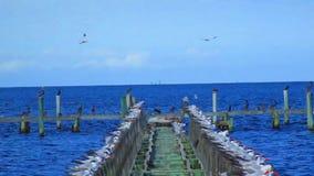 Pájaros en un embarcadero viejo almacen de video