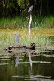 Pájaros en un lago Fotos de archivo